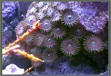 This is a Zoanthid that grows very fast